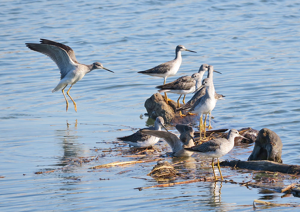 Greater Yellowlegs. Photo taken in the Skagit River Delta of WA state, March 2019. These birds migrate north from Latin America to breed in the Northern Hemisphere through July. Photo by Mike Hamilton.