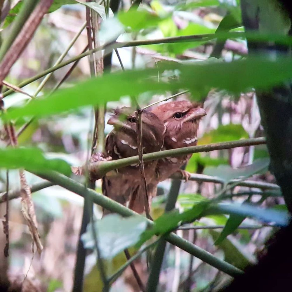 A pair of Philippine Frogmouth, Bohol, the Philippines.
