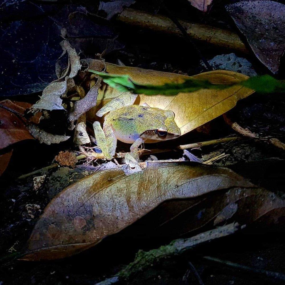 Platymantis corrugatus, Bohol, the Philippines.
