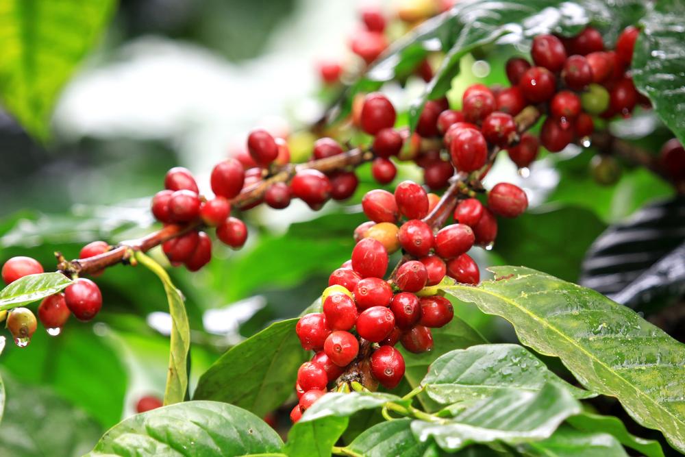 coffeetree.jpg