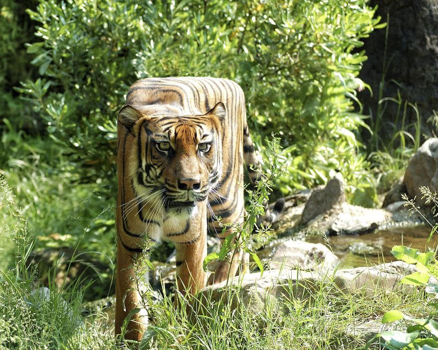 tiger-8057-5879ebfb5855d__880.jpg
