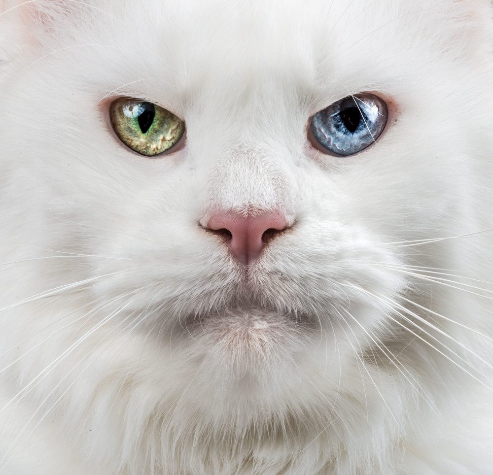 """VITORONESCOON'S KRISTINE   Kristine aka Ondine — the one who started our undying passion for solid white Maine Coons so many years ago. Our foundation line of our most precious white offsprings.  The one who put our whites on the map for so many breeders and pet lovers of whites. Her son, MetatronEyes Mobydick, worldwide recognized now as a  """"famous"""" white Maine Coon.    Ondine means so much to us, that we could not part from her. Being a foundation of our lines, we decided to keep her within our home as retiree for further testing.   Ondine is a very independent Queen, extremely intelligent with the grumpiest look and attitude — which you can only love.   We would like to thank her breeder, Julia, for entrusting her to us."""