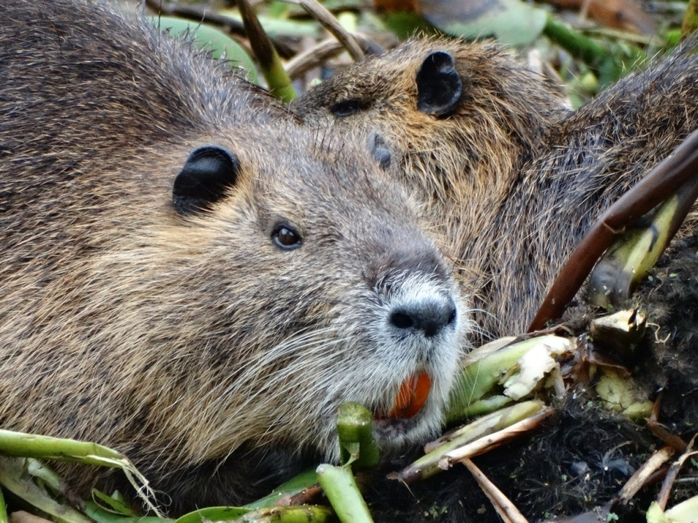 It's not a groundhog. It's a nutria. The Louisiana version of a groundhog.
