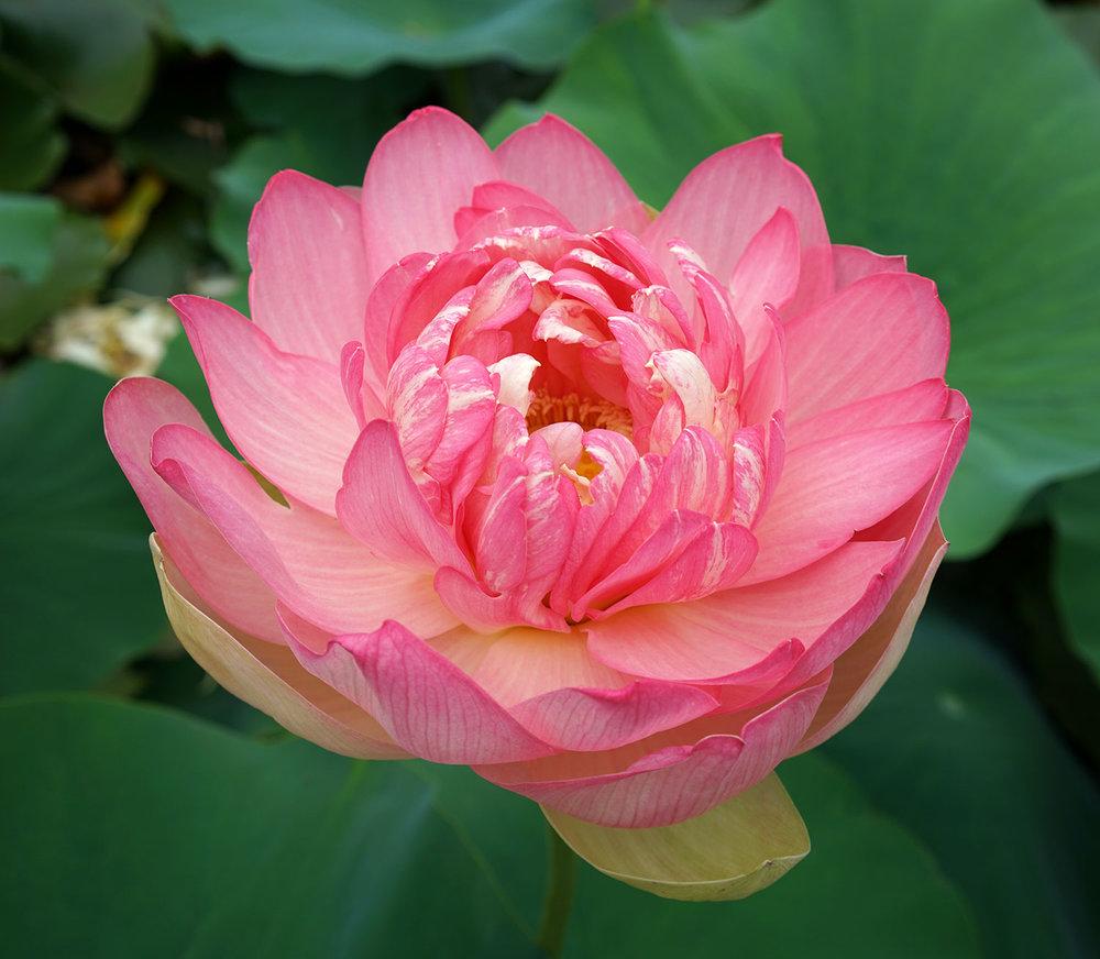 Lotus Flower at Blue Lotus Water Garden in Yarra Valley, Victoria, Australia. ©Thaneeya McArdle