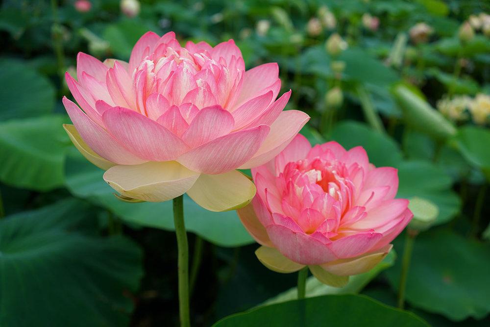 Lotus flowers at Blue Lotus Water Garden in Yarra Valley, Victoria, Australia. ©Thaneeya McArdle.