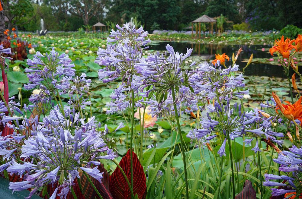 Blue Lotus Water Garden in Yarra Valley, Victoria, Australia ©Thaneeya McArdle
