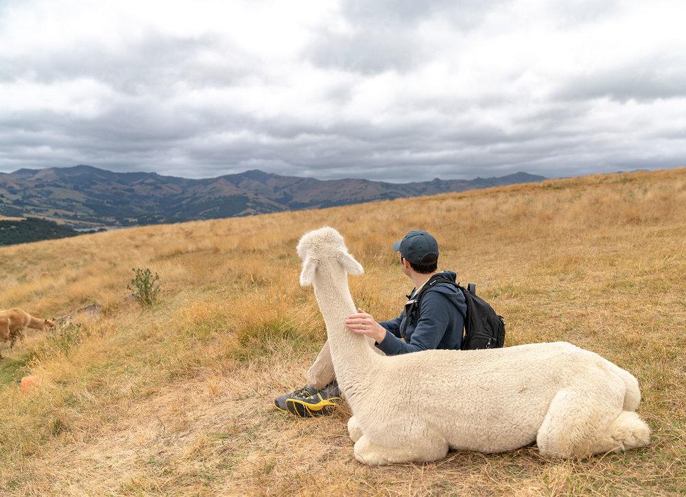Marcus and alpaca at Shamarra Alpaca Farm in Akaroa, New Zealand