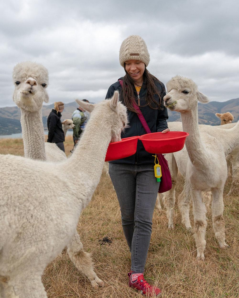 Thaneeya McArdle feeding alpacas at Shamarra Alpaca Farm in Akaroa, New Zealand
