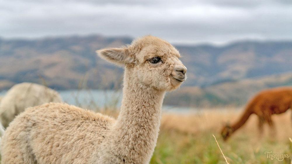 Alpaca at Shamarra Alpaca Farm in Akaroa, New Zealand