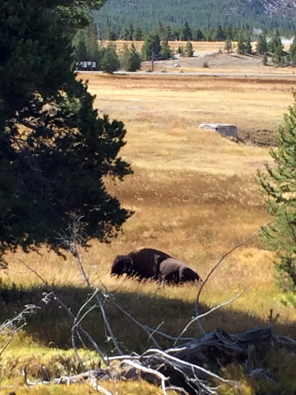 One of the loads of wild bison we saw basking in the sun (it's a good life).