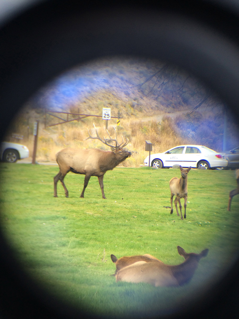 Elk around Mammoth Hot Springs photographed with my high tech zoom set-up of iphone through binoculars (which I purchased for my Moonrise Kingdom Suzy Bishop Halloween costume)