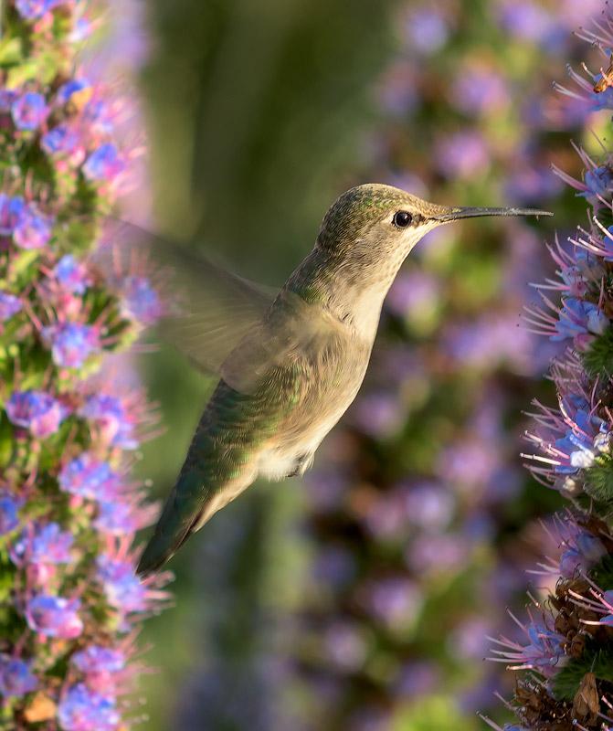 Humming-Bird-#2_DSC1107-1.jpg