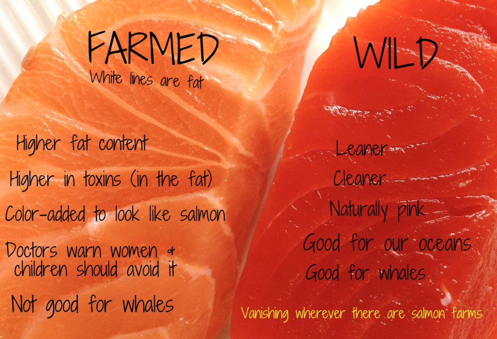 Farmed Salmon One Of The Most Toxic Foods In The World Biggies