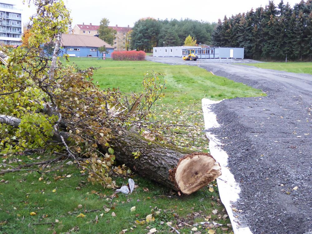 Ett av de store, gamle trærne har måttet vike for en ny innkjørsel til brakkene i bakgrunnen. (Foto: Sven-Åge Svensson)