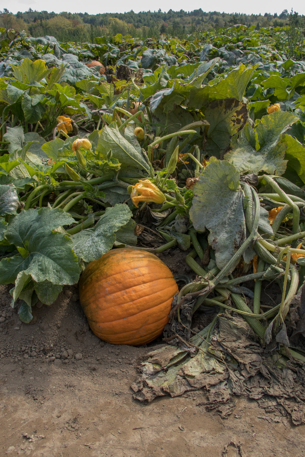 farm_pumpkins.jpg