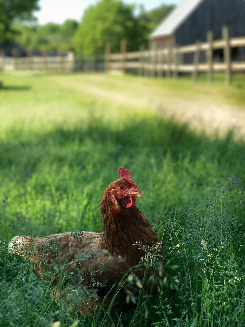 CHICKEN IN GRASS.jpg