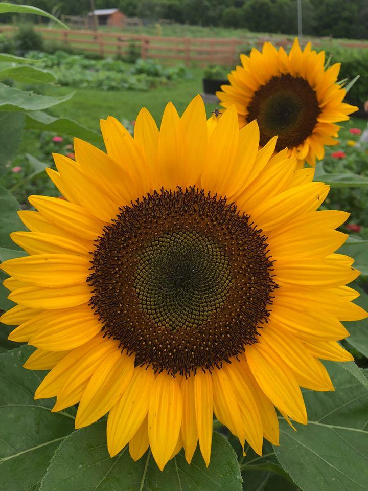 fg sunflower.jpg