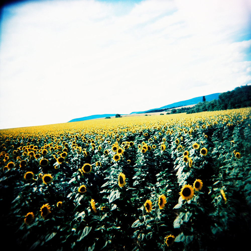 """Sunflowers Forever"""
