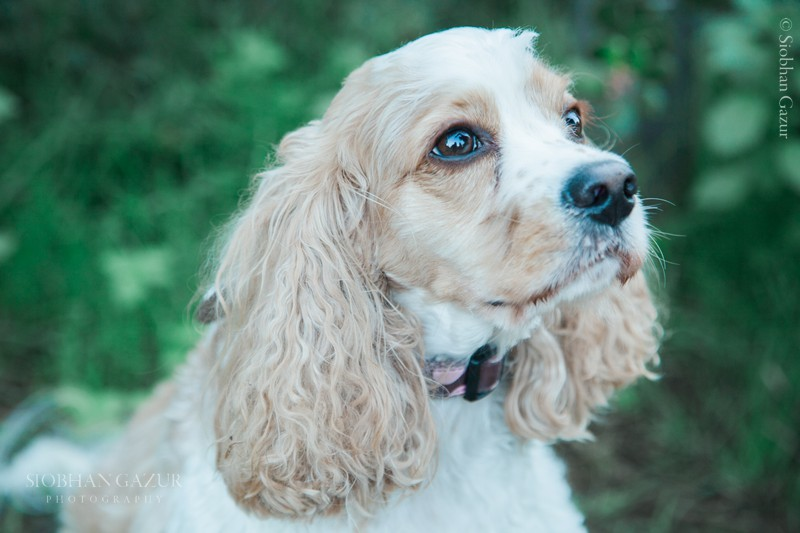 Pet Photography | Cavalier King Charles Spaniel