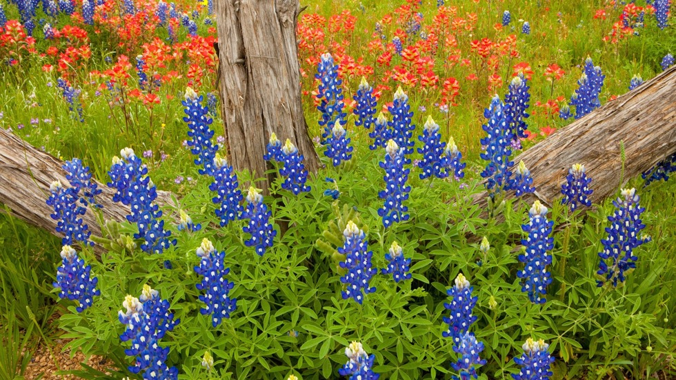 bluebonnets & indian paints.jpeg
