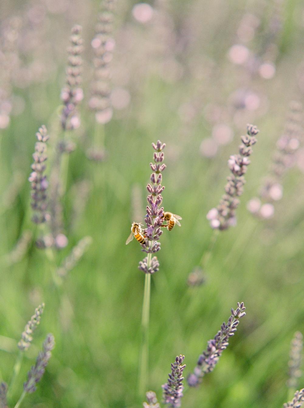 Lavender Fields | Travel Photos | Fine art prints | Justine Milton Photography