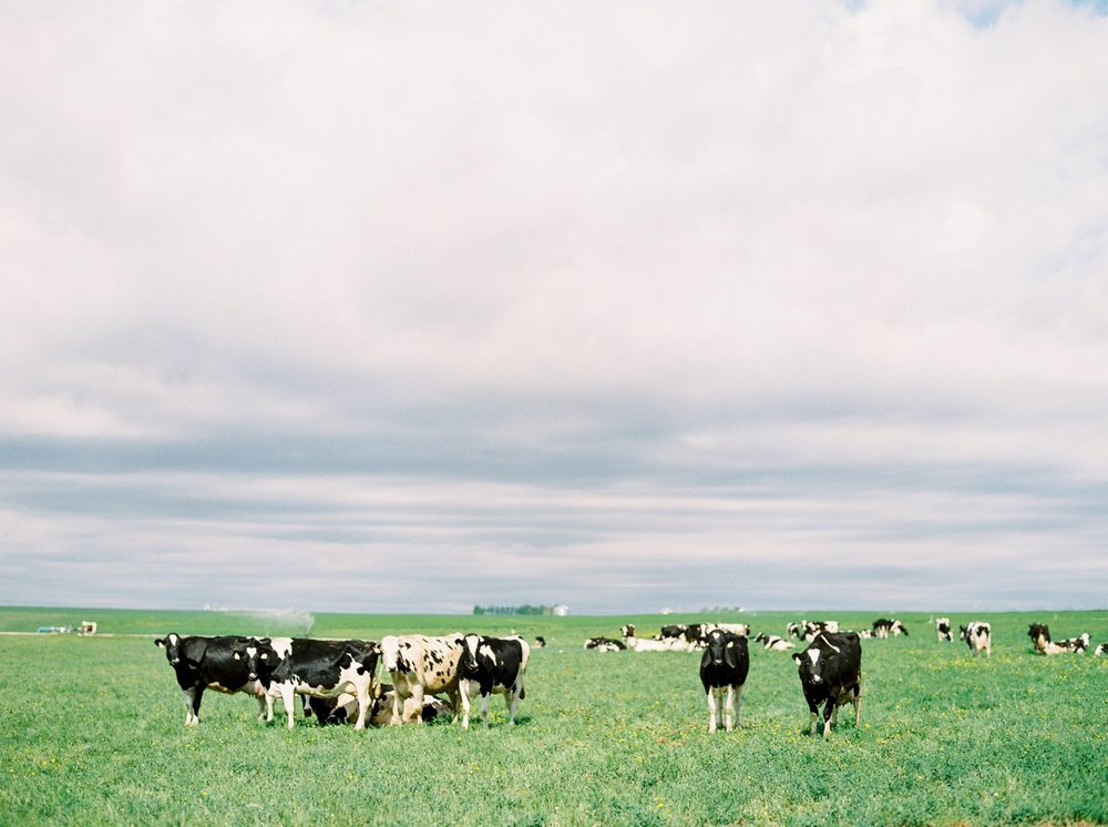 Organic Dairy Farm | Made By Marcus | Cows Calgary Commercial photographer
