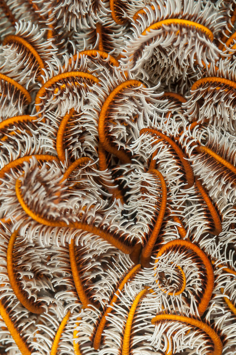 """Sleeping Crinoid"""