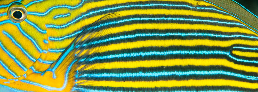 """Striped Surgeonfish"""