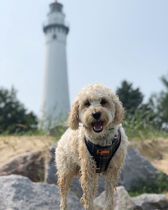 It's #NationalDogDay, so @brumbybrabs is getting spoiled yet again. 🐕 We've hit lighthouses, beaches, the @harleydavidson Museum & the Indiana Dunes on our road trip back home today. He's running on Wisconsin cheese curds and 3 naps. Lucky weekend for a pup! We love you buddy. 💕 • • • #Cockapoo #Puppy #Dog #DogsOfInstagram #PuppiesOfInstagram #CockapoosOfInstagram #DogDay #WindPointLighthouse #Wisconsin #Roadtrip