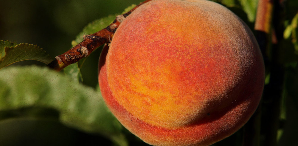 Bear Mountain Orchards Peaches