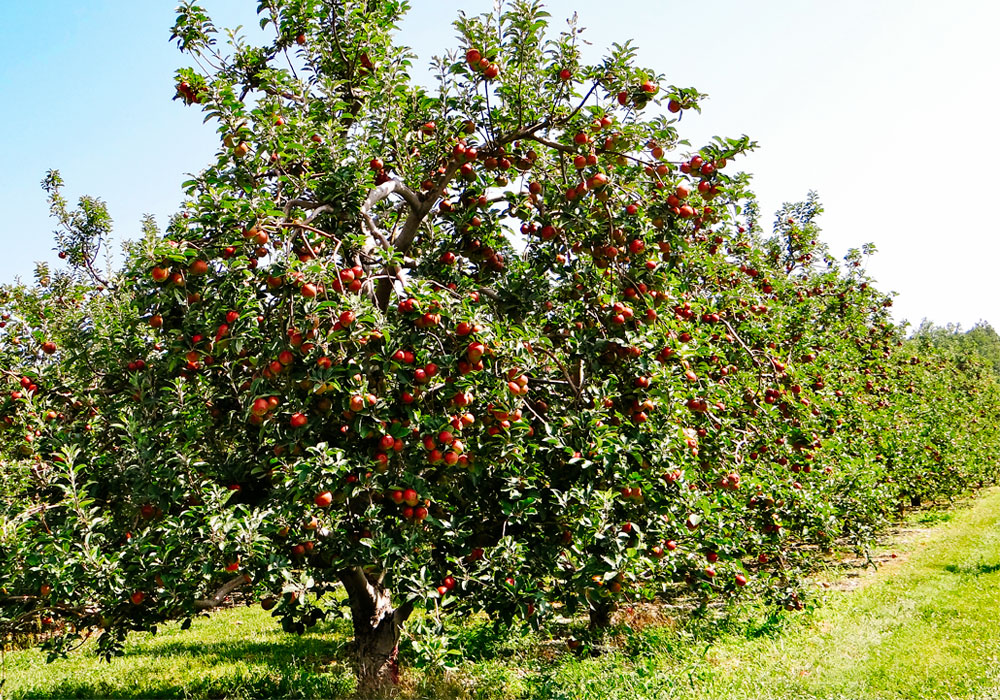 bear mountain orchards red apple tree