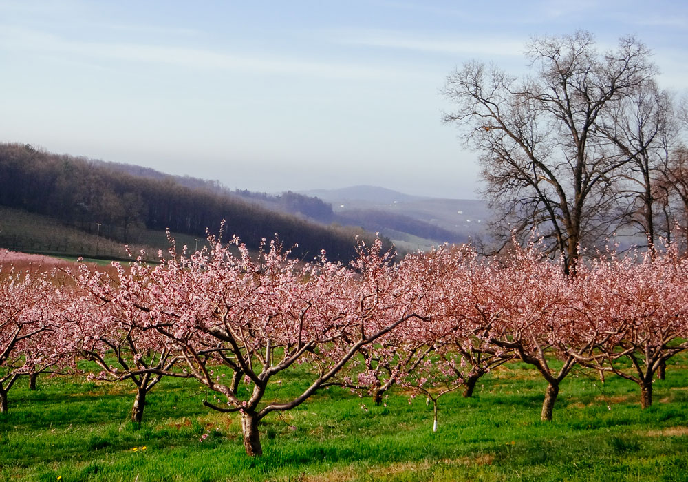 bear mountain orchards peach blossom mountains