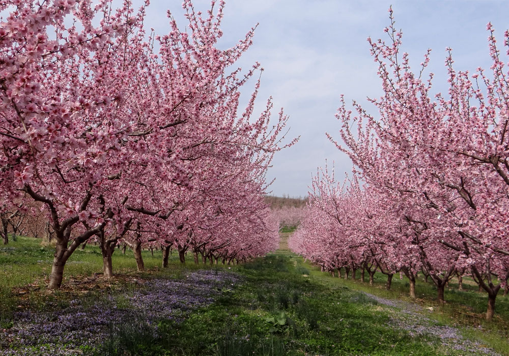 bear mountain orchards peach blossom tree