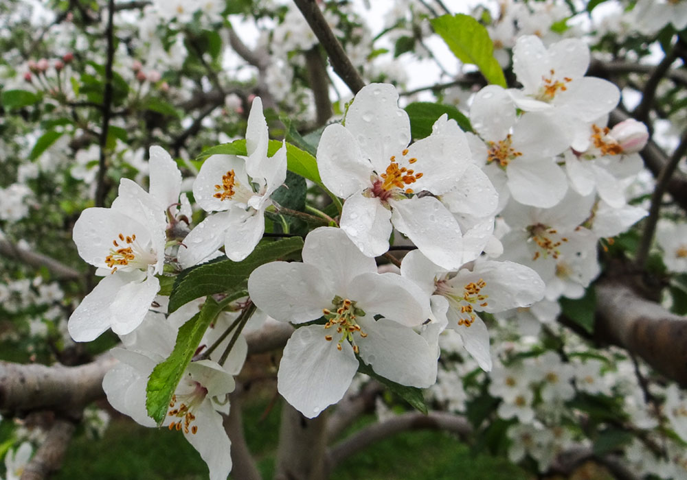 bear mountain orchards apple blossoms