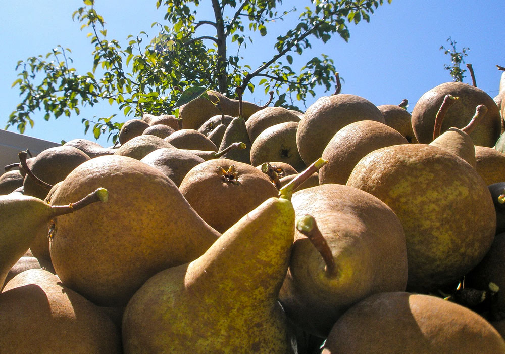 bear mountain orchards bosc pear