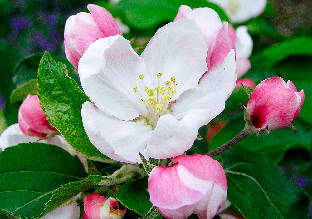 bear mountain orchards apple blossom flower