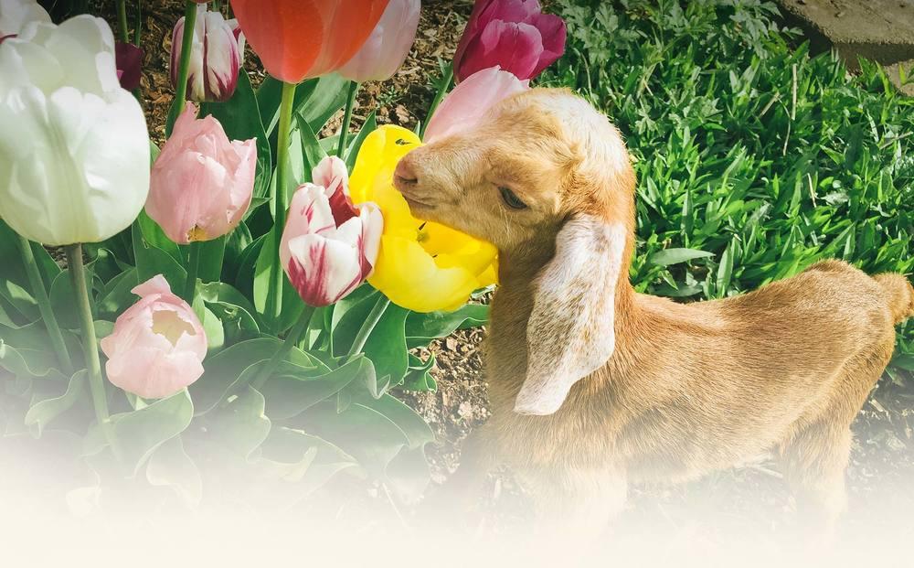 _delilah_goat-tulip.jpg