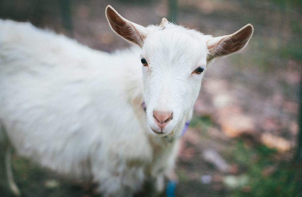 Goat-IMG_2244.jpg