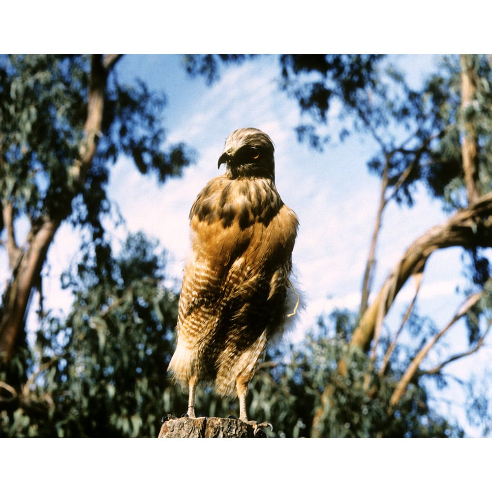 July, The Red-Shouldered Hawk