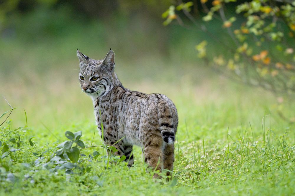Bobcat Paradise