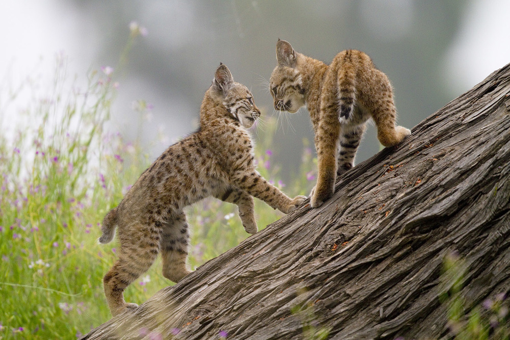 Bobcat Kittens Square Off