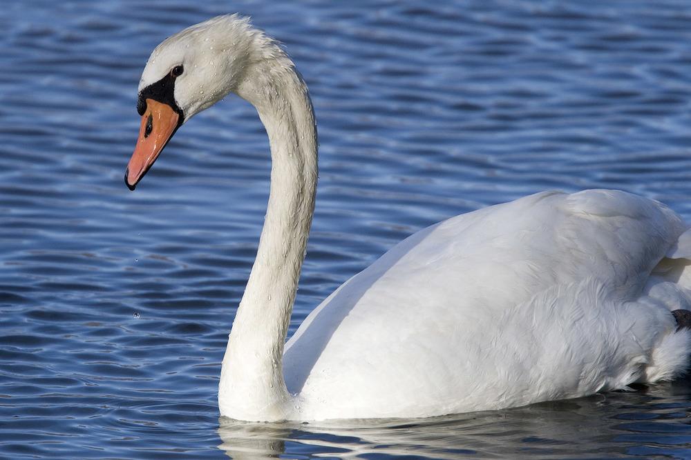 Mute-Swan.jpg