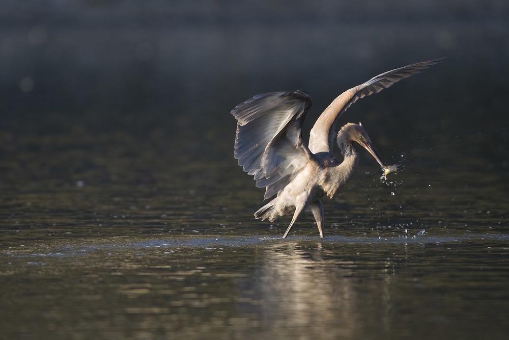 Reddish-Egret.jpg