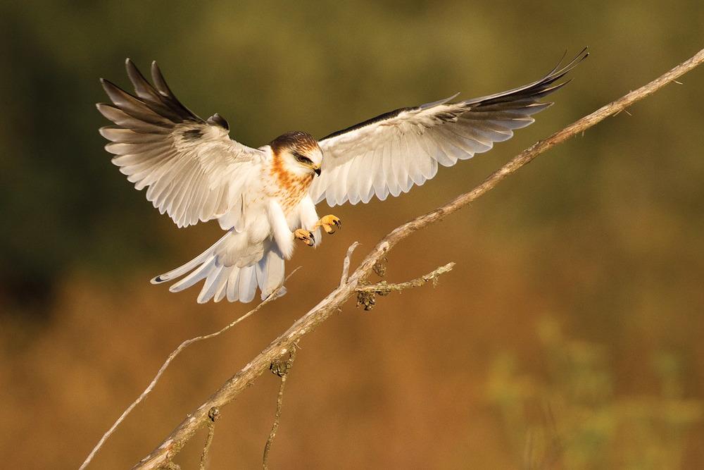White-tailed-Kite-Landing.jpg