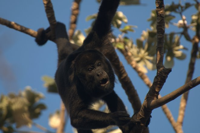 Did you know howler monkeys (Alouatta sp.) are the only New World primate in which males and females see color equally well, and probably have color vision as good as ours? - ACG, Costa Rica