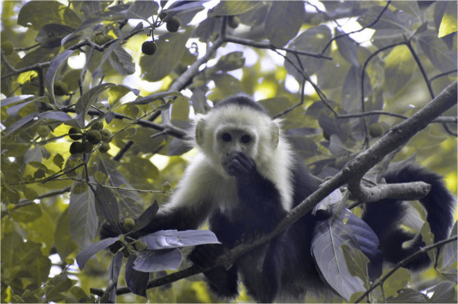 How a capuchin monkey (Cebus capucinus) eating bright red Guattarda macrosperma fruits might look to his red-green colorblind group mate- ACG, Costa Rica