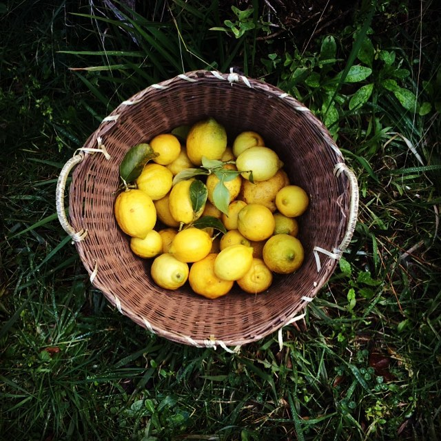 Citrus trees all going very well up here in #thebluemountains we have lemons, oranges, mandarins and tangelos in our garden - thankfully coming in in stages so I have time to process them all. Limoncello anyone? (at Lawson Blue Mountains NSW)
