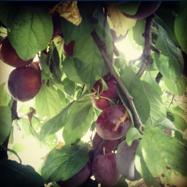 @twelvetreesfarm picking plums from the neighbours tree, they have too much fruit to handle! Don't worry, we will help! #tasmania #harvest #plumjam (at twelve trees farm petcheys bay)
