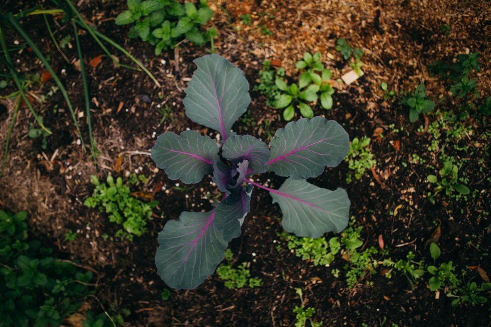 A beautiful red cabbage growing in the Lyttleton veg patch.