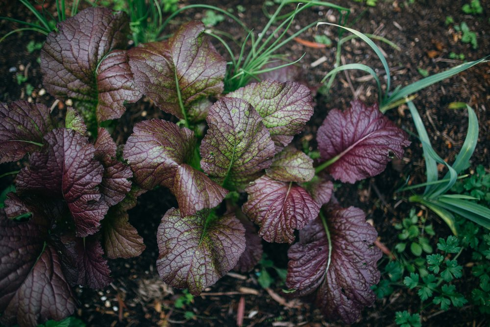red mustard is a delicious brassica that is easy to grow